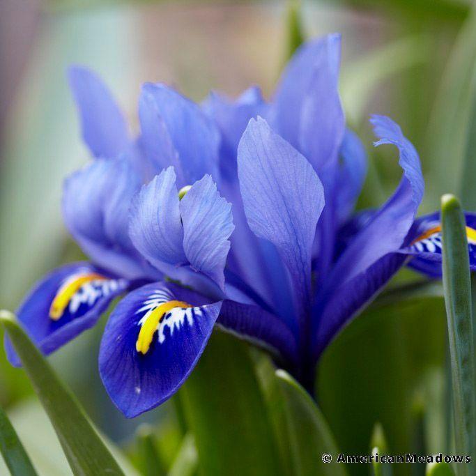 Blue Specie Iris Bulbs Dark Blue Iris Reticulata Specie Iris Or Wild Iris Bulb Flowers Iris Flowers Wildflower Seeds