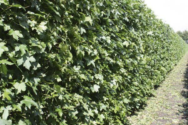 Amberboom (Liquidambar styraciflua)    De amberboom (Liquidambar styraciflua) heeft een piramidevormige kroon als de boom nog redelijk klein is; later wordt de kroon meer eivormig. Deze boom heeft een hoge sierwaarde. Denk hierbij aan een schitterende stam en takken die diep gegroefde kurklijsten krijgen naarmate ze ouder worden.
