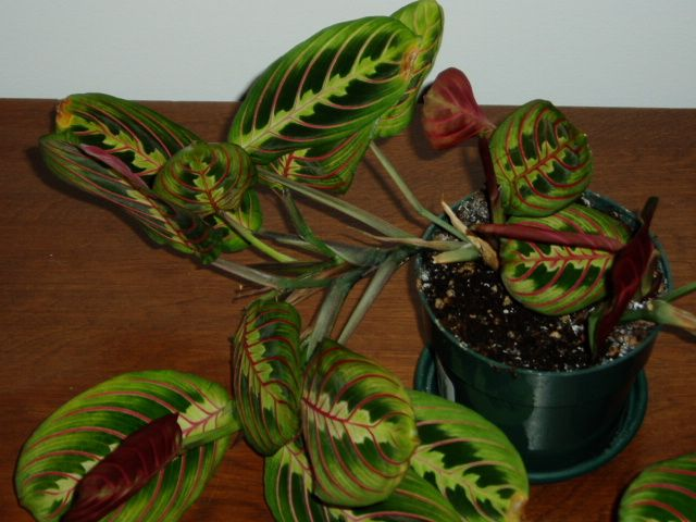 Good tips on prayer plant care when and how to propagate for Praying angel plant