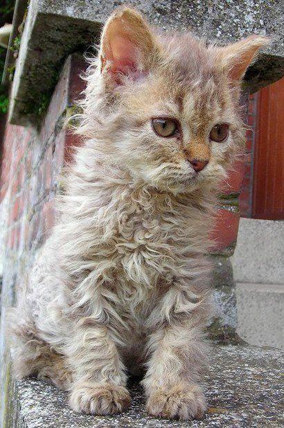 chats couleur chocolat | Idalgo petit mâle selkirk rex Lh homozygote de couleur chocolat tabby ...