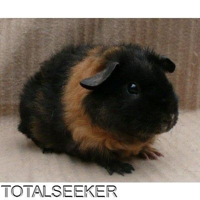 Teddy Guinea Pig | rex and teddy guinea pigs for sale we have a few baby guinea pigs for ...