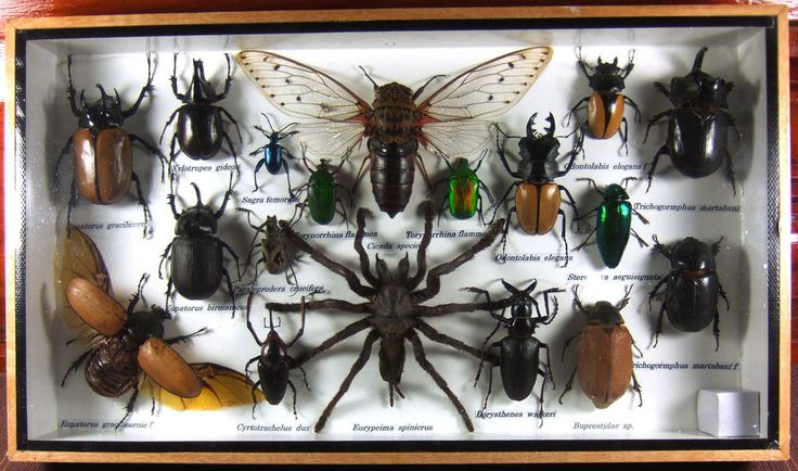 Real Butterfly Insect Bug Taxidermy Display in Framed Box Big Set Gift gpasy 04
