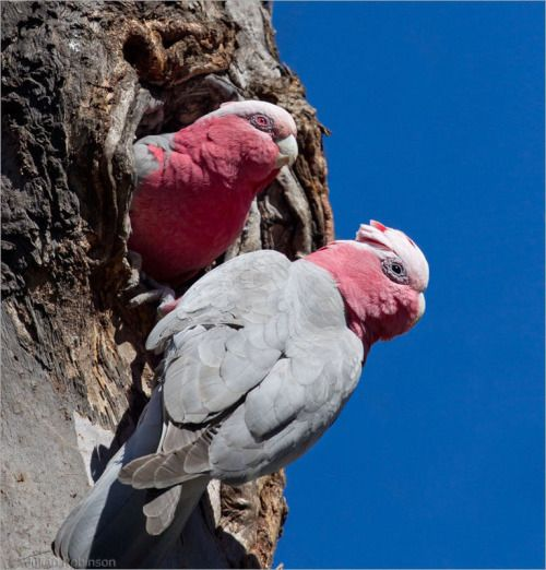 The Galah - Eleophus roseicapilus, is one of the most abundant and familiar of the Australian parrots, occurring over most of Australia, including some offshore islands.  Photo by Julian Robinson.