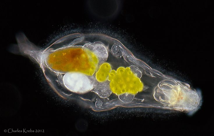 www.photomacrography.net :: View topic - Desmid, Arcella, rotifer (Notommata copeus )
