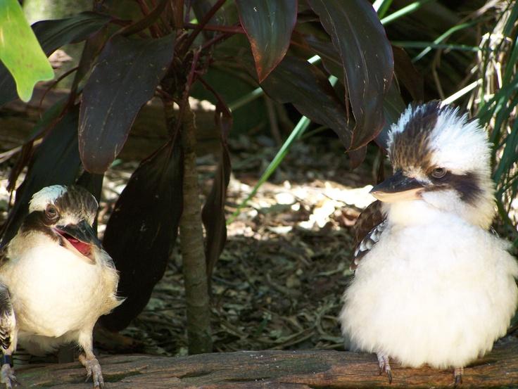 cookaburra