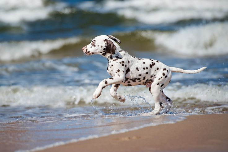 Bringing pets to the Outer Banks? This handy guide is full of vital info you need to know for your next Outer Banks vacation.