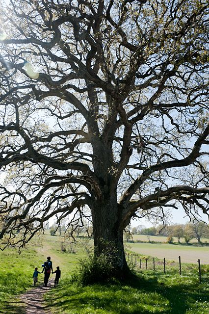 the oak was one of the several species of trees that were looked upon as the tree from which the cross was made (ilex, aspen). Because of its solidity and endurance, the oak is also a symbol of the strength of faith and virtue, and of the endurance of the christian against adversity.