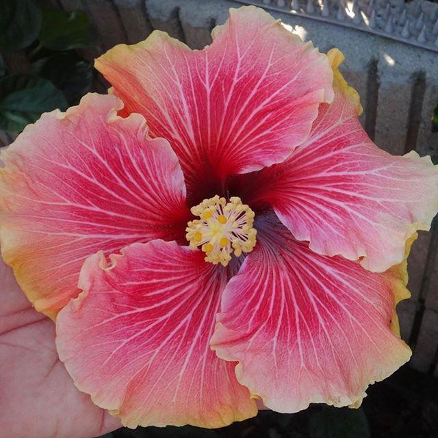 Colorlicious Hibiscus Gardens Colorlicioushibiscus Instagram Photos And Videos Hibiscus Garden Hibiscus Flowers Hibiscus Flower Drawing