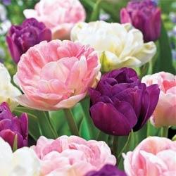 Double Tulip Trio