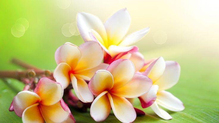 ... Tattoos   Pinterest   Jasmine Flower Tattoos Jasmine and Flower