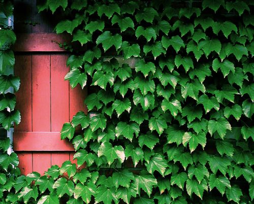 Boston Ivy creeper to grow on kitchen wall below stair