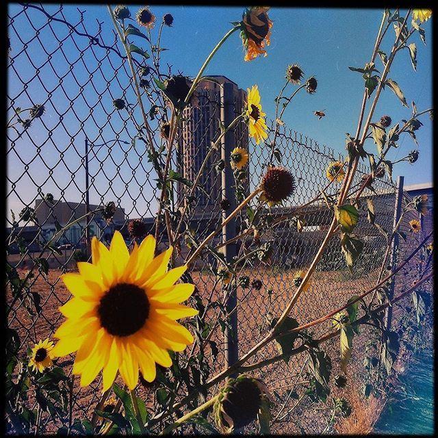 #dtla #losangeles #artsdistrict #borderlands #wildflowers #wild #sunflowers #nativeplants #takeover #leo #highway #desert #jungle #blueskies #california