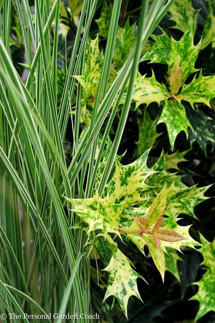 Osmanthus 'Goshiki' and Miscanthus s. 'Morning Light' http://fine-foliage.com/2014/09/17/september-survey-of-foliage/