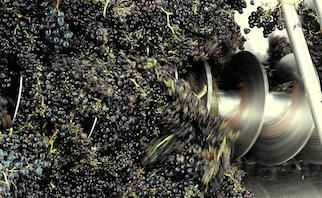 Stems are then regarded as a waste product, and can be used as fertiliser or mulch. But some winemakers are seeing an opportunity for a different style of winemaking.