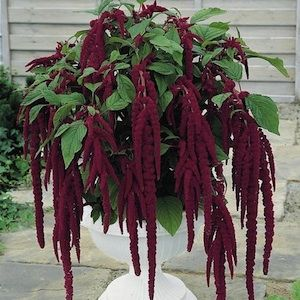 Love-Lies-Bleeding amaranthus seeds - Garden Seeds - Annual Flower Seeds- potted