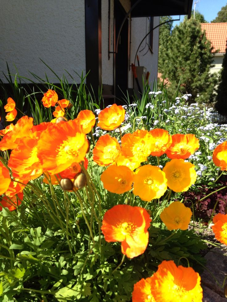 Poppies keep on poppin'. I let them get cosy here, but they appear everywhere...