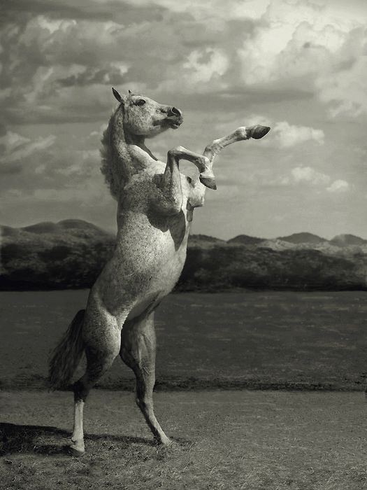 A horse rears to show how powerful it is and this one is really powerful because he is standing almost strait up.