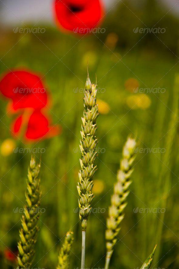 Wheat (Triticum Sp.) - Stock Photo - Images