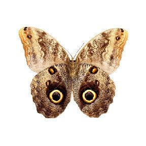 Brown Moth Vinyl Decal 3 inch wide by WilsonGraphics, $1.75 USD