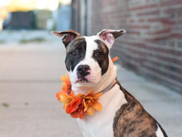 """SAFE!!!!!!!!!!!! HARLEY - A1096173 - - Manhattan Please Share:TO BE DESTROYED 11/19/16: ****PUBLIC ADOPTABLE**** A VOLUNTEER WRITES: A volunteer writes: Harley is so great she has us singing a cheer about her: H is for """"How about a game of fetch?"""" Harley retrieves the ball and drops it on command! A is"""