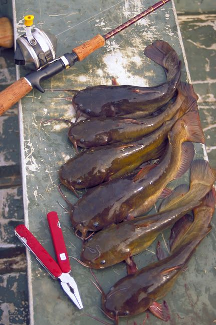 """Bullheads Beware! 9 Can't Miss Tips for Catching Your Next Batch of Bullheads. By Keith Sutton Pictured: Yellow Bullhead Catfish """"Butter Cats"""""""