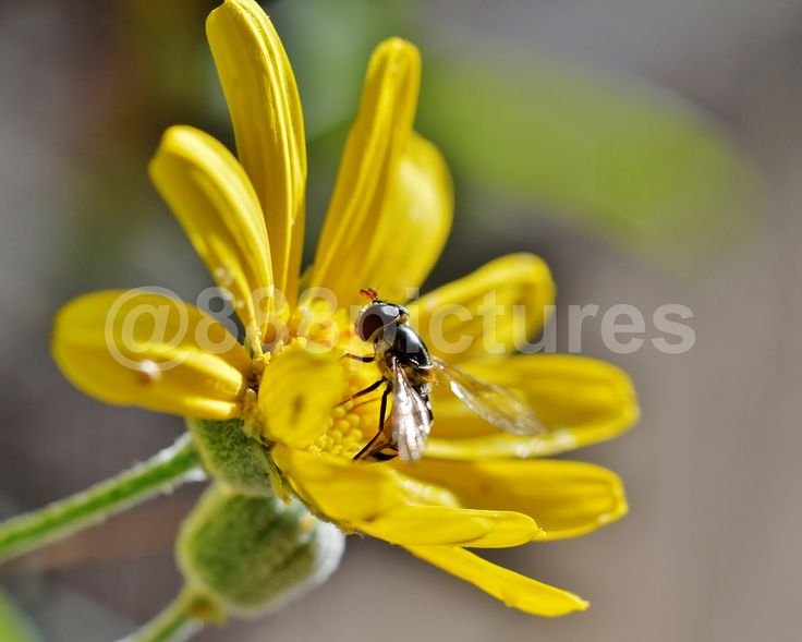 888 Pictures: Serveral Shots Common Hoverfly - Syrphidae  #macro #hoverfly #insects #flower #pollen #nature