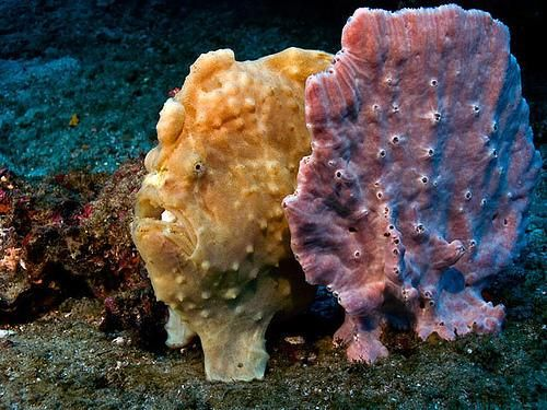 ¿Está seguro de que sería capaz de distinguir un pez de una esponja?  Esta fotografía es uno de los mejores y más sorprendentes ejemplos de mimetismo animal que hemos visto nunca.   En ella se pueden observar un ranisapo, un pez de la familia Antennariidae, y una esponja.