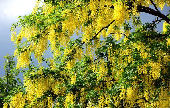 Обои картинки фото весна, жёлтые, цветы, дерево, ветки