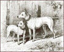 English White Terrier
