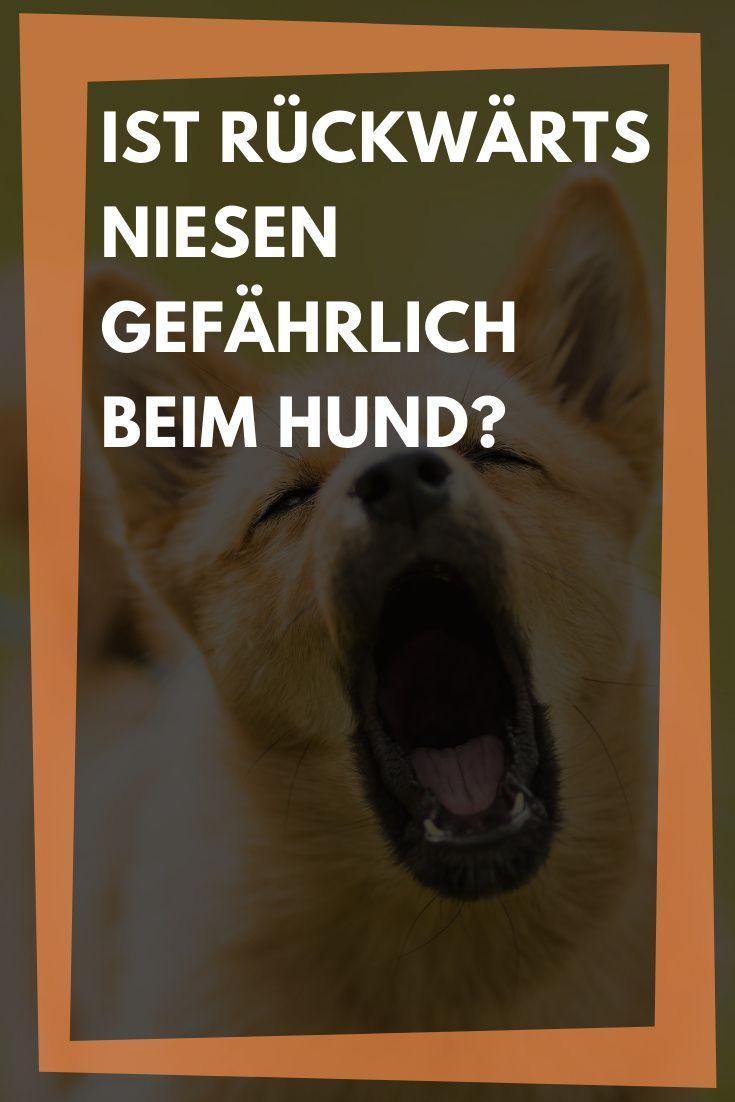 Rückwärtsniesen: Hund niest rückwärts, Behandlung und