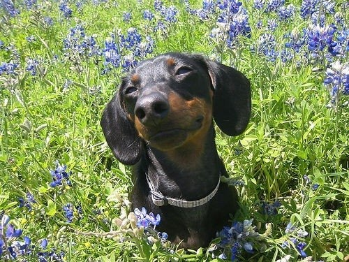Just lovin' spring.Weenie Dogs, Dogs Farts, The Face, Fresh Flower, Happy Dogs, Weiner Dogs, Wiener Dogs, Hot Dogs, Animal
