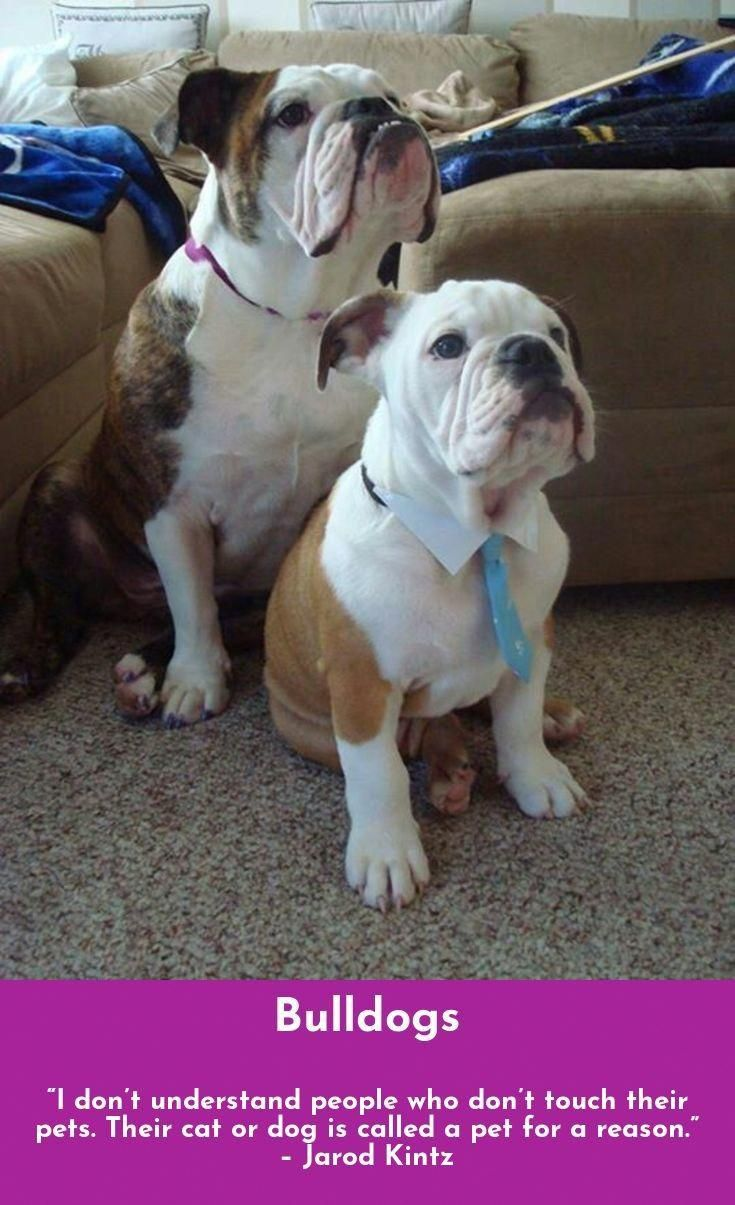 Bulldog Calm Courageous And Friendly Bulldog