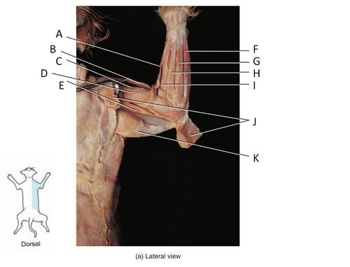 Test Cat Dissection Lab Muscles Of The Arm And Forearm Quizlet