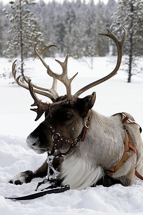 Reindeer, would love to have him as my pet.