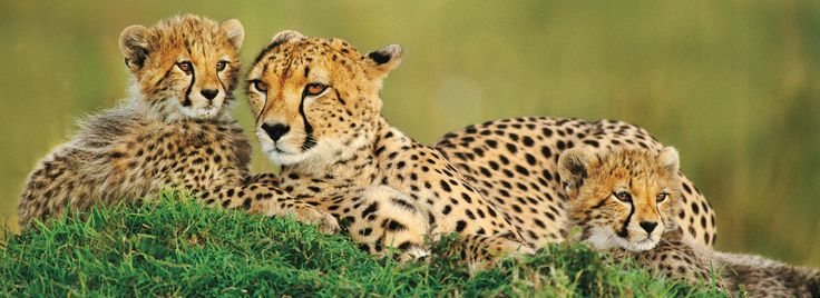 #SafariInKenya   are the wonderful place for safari vacation. Come and enjoy the place find out more @ http://kenya-safaris.co/