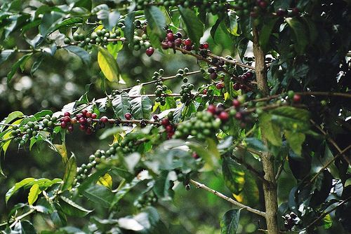 Coffee Plant, Peru (analog photography)