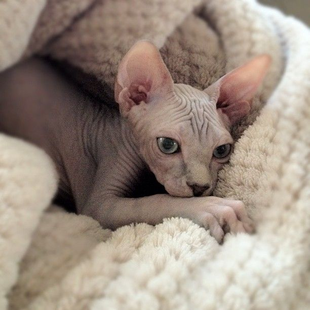 Here he is: Pharaoh our #sphynx #kitten. Just making himself a new home.