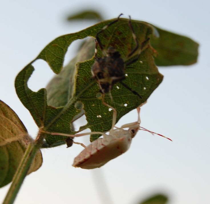 Pin by Strube's Stink Bug Traps on All About Bugs Pinterest