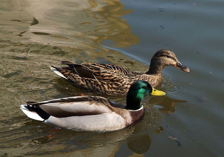 Mallard Ducks at The Farm at Walnut Creek