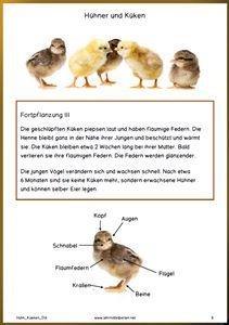 Hühner und Küken - Lebenszyklus - Informationen - Aufgaben - Spiele