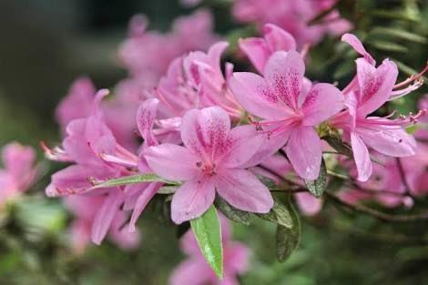 「rhododendron kanehirai」の画像検索結果