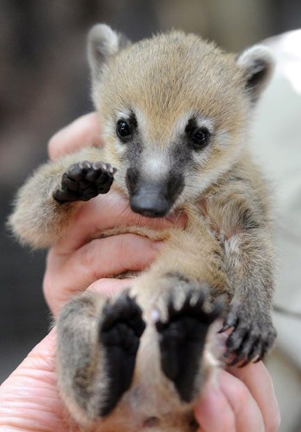 Baby coati is given a medical inspection by zoo keepers at Melbourne Zoo. The coati,  belongs to the larger raccoon family. <3