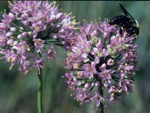 619 Best Allium Images On Pinterest Backyard Ideas Bulb