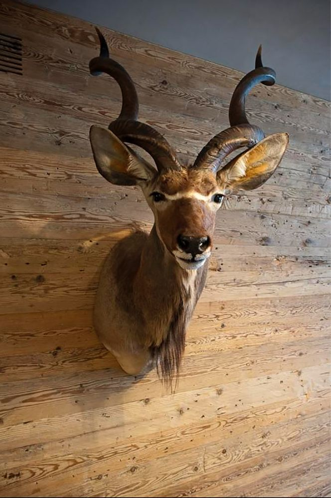Trophy- Greater Kudu