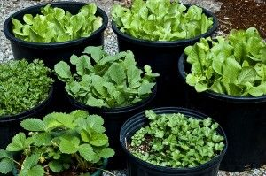 Dwarf and Miniature Vegetables are perfect to grow in pots & containers - check this list for some varieties to try.    The Micro Gardener