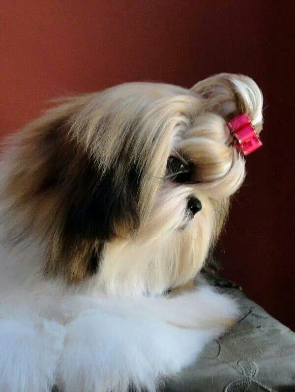 small dog shih tzu 691 best shih tzu s are so silly images on pinterest 4261