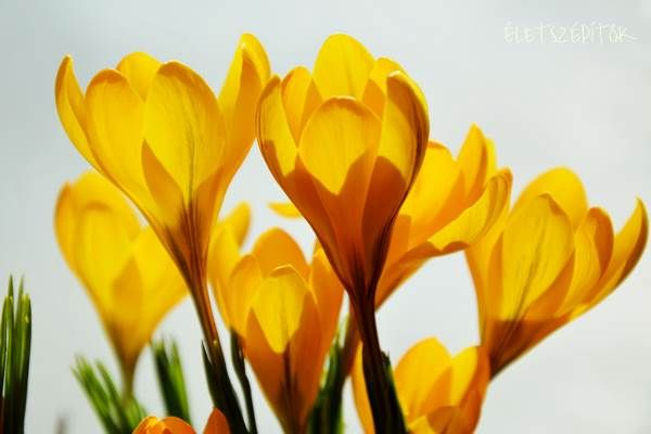 Jön a tavasz, nyílik a sáfrány. Edényben is nevelhető a hagymagumós dísznövény