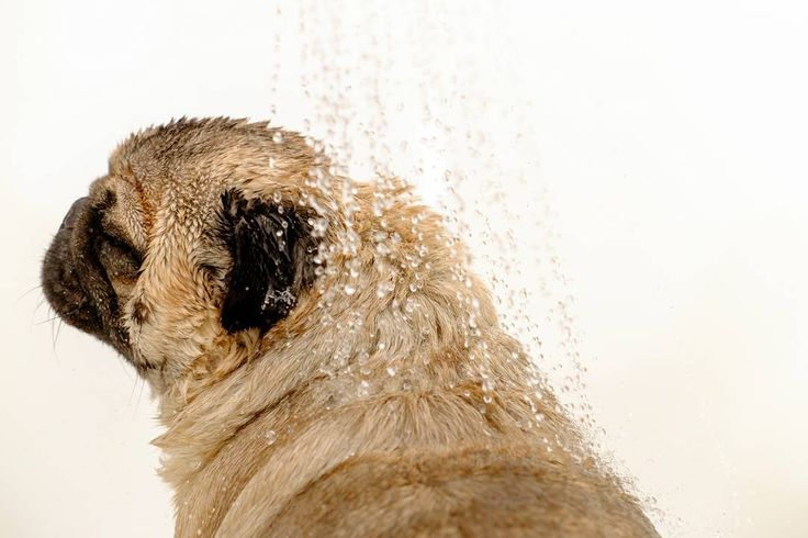 The only shower that I enjoy is a cold shower on a very hot day ☀ #mauricethepug #iulianmarcu #shower #coldshower #hotday #hot #refreshed #summer #summerishere #puglife #pugchat #pug #mops #dog #puppy