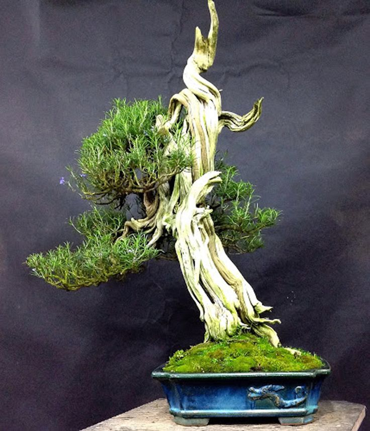 17 best images about rosemary bonsai on pinterest trees for Unusual bonsai creations