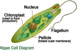 Algae Cell Diagram Algae
